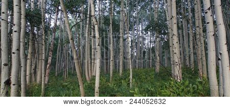Amongst The Aspens: A Forest Of Aspen Trees, Gunnison National Forest, Colordo