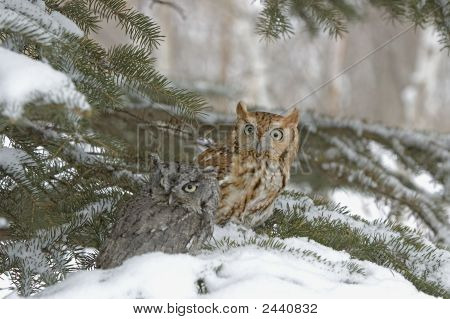 Screech owls in winter. Photographed in Northern Minnesota poster