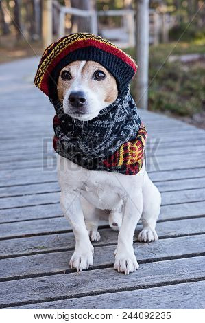 Portrait Of Cute Jack Russell Dog Wearing In Knitted Beret And Scarf Sitting On The Wooden Boardwalk
