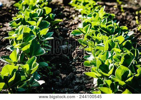 Green Leaves Grass Beans Field In The Summer Time, Beans On Background. Close-up Of A Beans Plant Fi