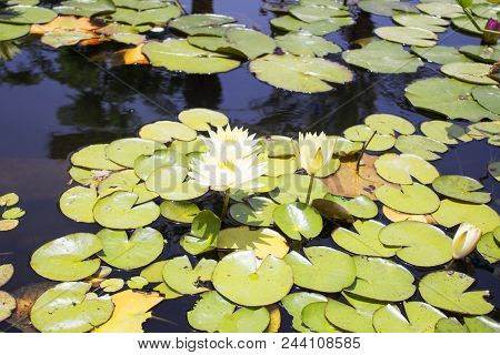 Small Quiet Pond With Water Lilies And Other Plants In The Middle Of Very Hot Day