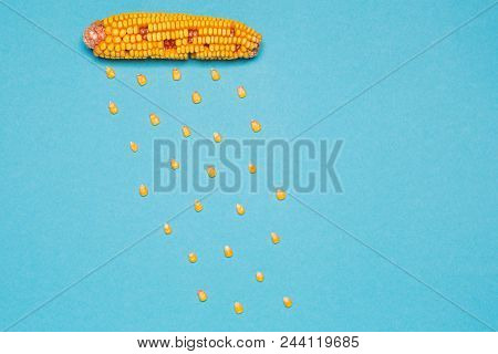 Rain From Corn, Corn Cobs And A Number Of Grains Lined With Rain On A Blue Background, Minimalism, A