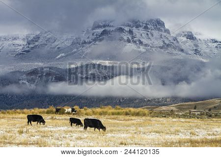 Ranch Cattle Grazing In Field With Snow By Wyoming Mountain