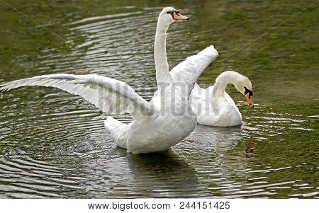 White Swans Floating On The Surface Of The Water In The Forest Lake.