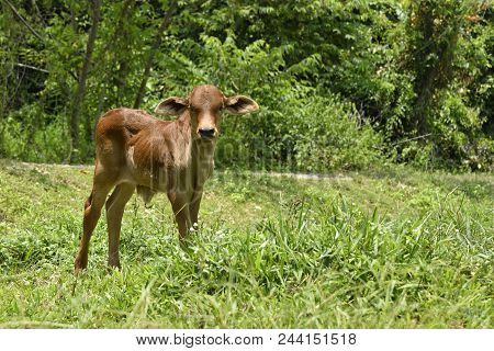 Stand And Eye Contact Calf In Farm Landscape On Green Grass In Green Field, Outback Rural. Calf Eye