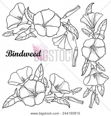 Vector Set With Outline Convolvulus Or Bindweed Flower Bunch, Bell, Leaf And Bud In Black Isolated O
