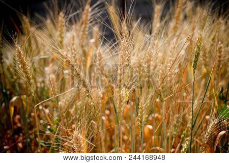 Wheat Field. Ears Of Golden Wheat Close Up.  Rural Scenery Under Shining Sunlight. Background Of Rip