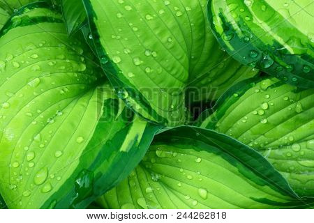 Fresh Green Hosta Plant Leaves After Rain With Water Drops. Botanical Foliage Nature Background. Wal