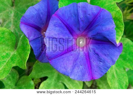 Beautiful Vivid Blue And Purple Morning Glory Flower On Green Leaves Foliage Background. Tropical Pl