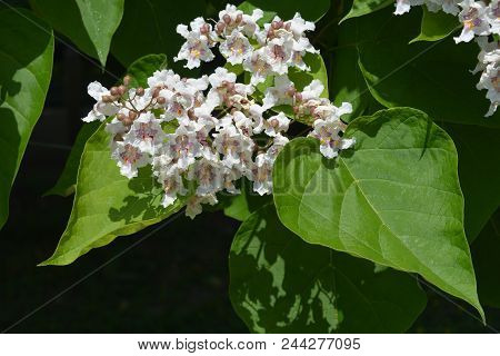 Southern Catalpa Flowers - Latin Name - Catalpa Bignonioides