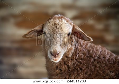 A Portrait Of A Sheep Over Neutral Biege Background. The Sheep Looks Straight Ahead To The Camera Wi