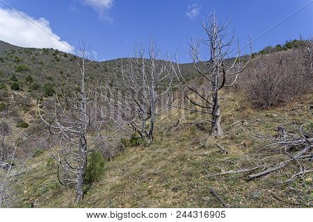 Dried Relic Junipers (juniperus Excelsa) In The Crimean Mountains. Spring, Early April.