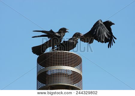 This Is An Image Of Three Crows Fighting To Land On One Spot In Carmel, California.