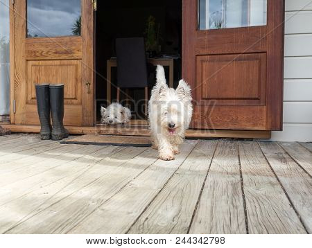 Scruffy Westie Dog Walking Out Of Open Farmhouse Door Onto Deck - Another West Highland Terrier Is L