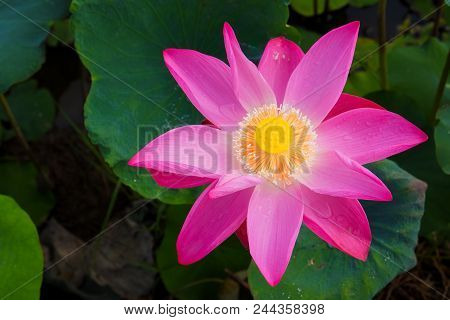 Macro Pink Lotus Flower. Close Up Photo Of A Beautiful Pink Lotus Flower With Copy Space For Text Or
