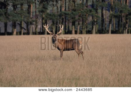 Deer Stag At The Rutting Time