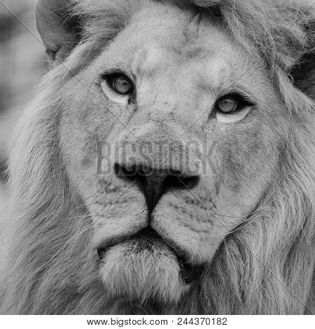 Stunning Intimate Portrait Of White Barbary Atlas Lion Panthera Leo In Black And White