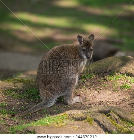 Forest Wallaby Wildlife Diprotodontia Macropoidae In Sunlgiht In Woodland With Yound Joey In Pouch