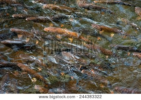 Lots Of Trout In Clear Water Of Wild Lake. Lovely Nature Background Close-up. Clean Environment Conc