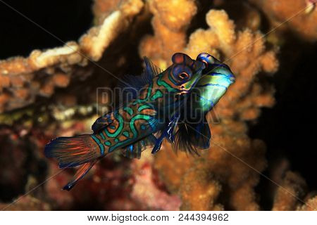Mating Mandarinfish (aka Mandarin Dragonet, Synchiropus Splendidus). Moalboal, Philippines