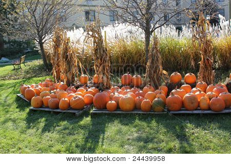 pumkin patch and corn stalks