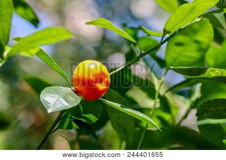 Closeup Of Ripe Orange Colored Fruit On Green Plant