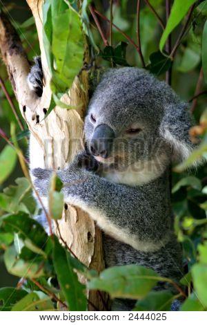 Koala Bear..