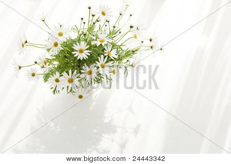 Marguerite on table