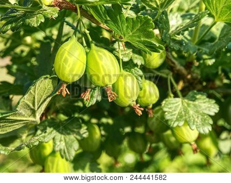 Bush Of Green Gooseberry With Unripe Berries. Sour Green Gooseberries. Young Beautiful Bush Of Goose