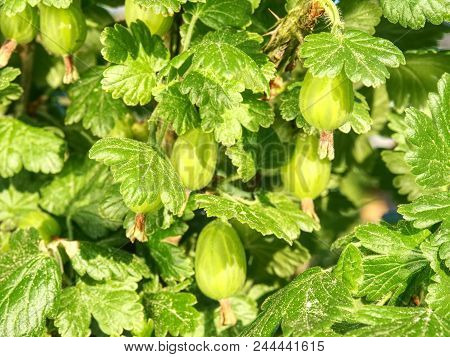 Gooseberries On Spiky Bush In The Garden. Sour  Gooseberry Berries On A Branch Surrounded By Leaves,