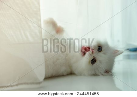 Adorable Pure White With Odd Different Blue And Green Eyes Persian Cat Lying Upside Down And Snarlin