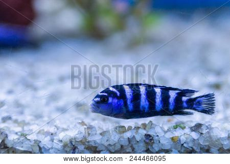 Cichlid Or Cichlidae Blue Tropical Fish In Aquarium. African Cichlid Endemic To Malawi In Blue Tropi