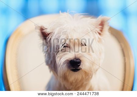 Cute West Highland White Terrier Dog Resting On A Leather Chair. Advertising Of Grooming And Caring