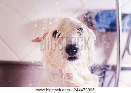 Female Groomer Haircut West Highland White Terrier Dog In The Beauty Salon For Dogs. Advertising Of