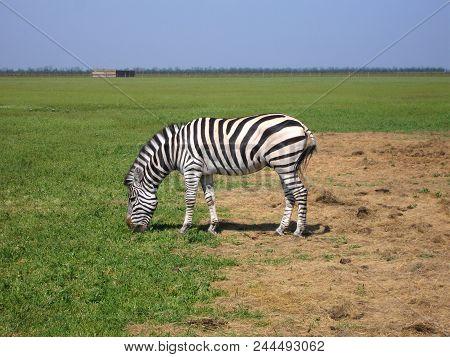 The Zebra Pasturing In The Grass In The National Park Askania-nova