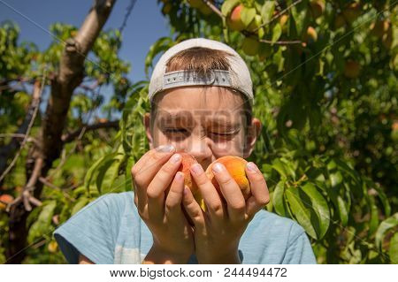Boy Holds Ripe Peaches In Hands. The Child Smells Peaches In The Garden