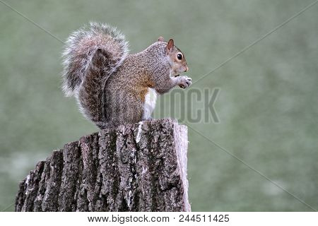 An Eastern Gray Squirrel Sitting On A Tree Stump Eating A Nut