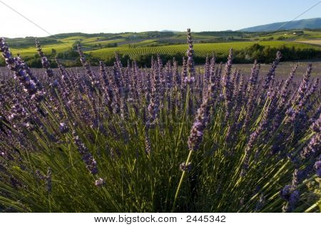 Flowers Of Lavender In A Field Of Lavender