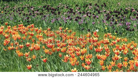 Tulip Flowers Garden Bed Scenic Close Up View. Beautiful Group Of Orange Colorful Tulip At The Garde