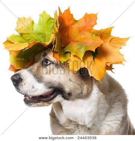 A dog in a maple wreath, isolated on a white background poster