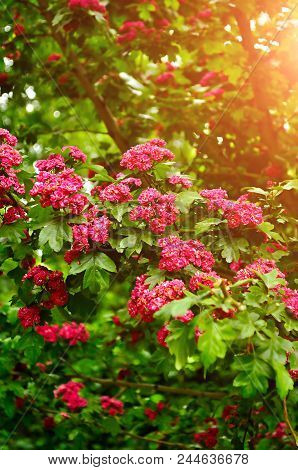 Summer Flower Landscape With Branch Of Summer Hawthorn Tree Pink Flowers, In Latin Crataegus Laeviga