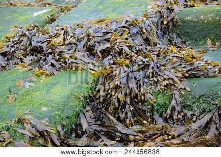 Seaweed Washed Up On The Shoreline Of The Isle Of Grain, Kent, Uk