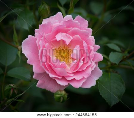 Pinkl Colored Rose Closeup - Natural Green Environment In Background