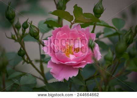 Pink Colored Rose  - Natural Green Environment In Background