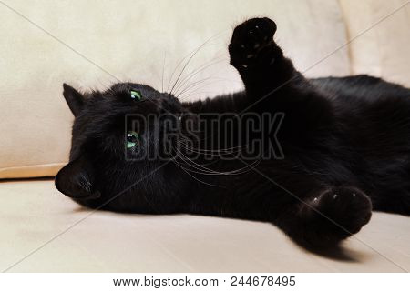 Black Cat With Open Paws Ready To Attack On White Sofa Background. Concept Defensive Position, Relax