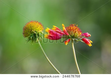 Red Sunflower And Sunflower Bud Together Blooming With A Nice Soft Green Background