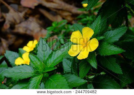 Yellow Flowers Of Sage Rose (west India Holly, Yellow Alder),turnera Ulmifolia L. Turneraceae