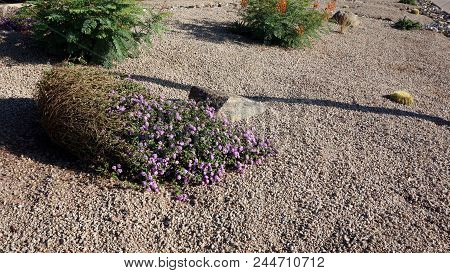 Xeriscaping With Native Desert Drought Tolerant Succulents And Cacti  In The Streets Of Capital Ariz
