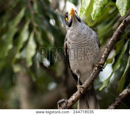 Noisy Miner Bird By Itself