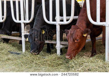 Aberdeen Angus Calves In Feedlot Eating Hay